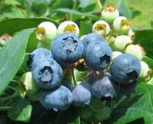 »Super sadje« ali borovnica