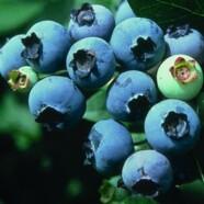Borovnica – sadje večne mladosti